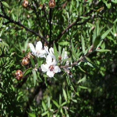 Alpha Beauty Organic Tea Tree Oil有機茶樹油 10ml